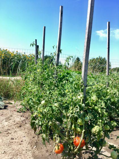 Tomaten in unserem Garten