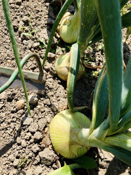 Zwiebel im Garten